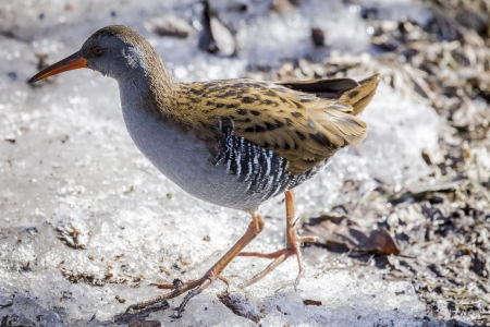 Water rail, Solna, Sweden Stock Photo - 18686805