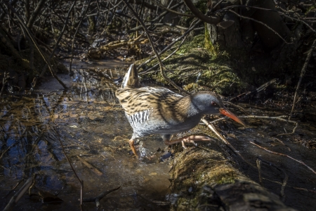 Water rail, Solna, Sweden Stock Photo - 18686795