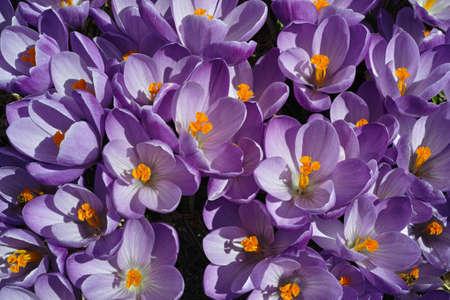 Crocus Flowers Stock Photo - 19237602