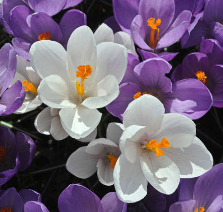 Crocus Flowers Stock Photo - 19237590