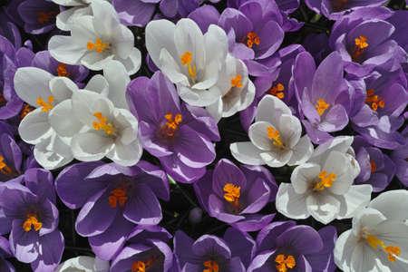 Crocus Flowers Stock Photo - 19237592