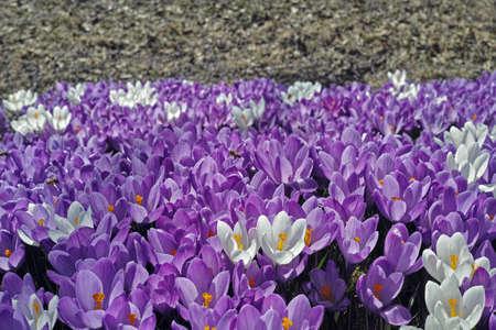 Crocus Flowers Stock Photo - 19237599