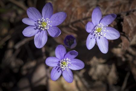 hepatica nobilis: Spring flower Common Hepatica  Stock Photo