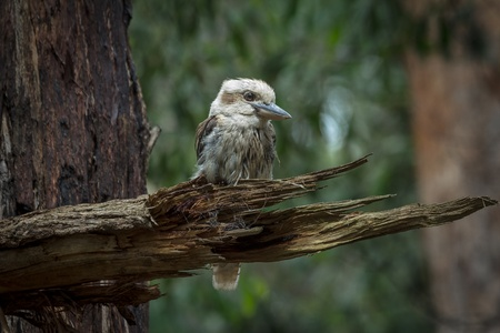Kookaburra  genus Dacelo  are terrestrial tree kingfishers native