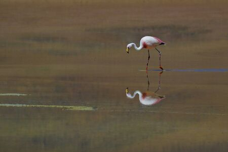James s flamingo, Laguna Blanca  Bolivia  photo