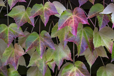 The leaves in autumnal colors