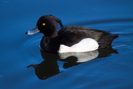 tufted: Tufted Duck  Aythya fuligula Stock Photo
