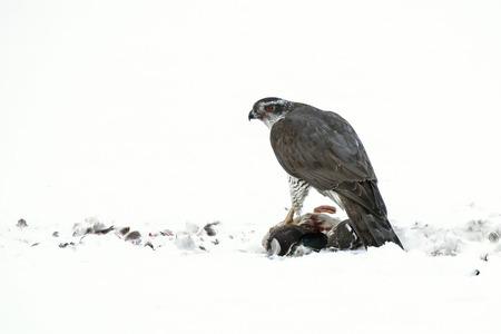 accipiter gentilis: Northern Goshawk  Accipiter gentilis  has made a kill, Sweden