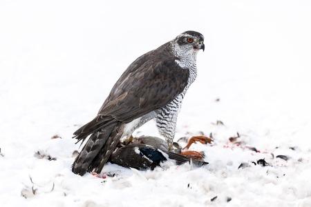 azor: Azor Accipiter gentilis ha hecho una matanza, Suecia