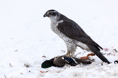 Northern Goshawk  Accipiter gentilis  has made a kill, Sweden
