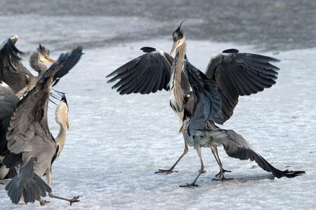 gray herons: Gray Herons, Solna, Sweden