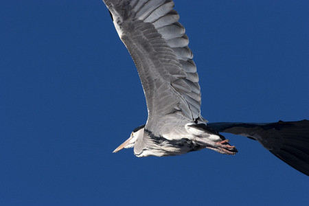 ardea cinerea: Grey Heron  Ardea cinerea , flying  Stock Photo