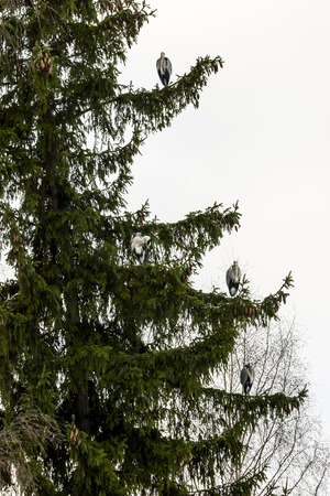 Grey Herons  Ardea cinerea , on a the branches of pine trees