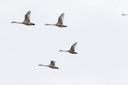 cygnus olor: Mute Swan family in the sky  Cygnus olor , Solna, Sweden