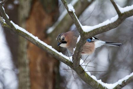 urban wildlife: Eurasian Jay  Garrulus glandarius ,  Solna, Sweden