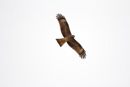 Red Kite  Milvus milvus , Badain Jaran Desert, Inner Mongolia, China  Stock Photo