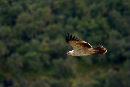 tawny: Tawny eagle bird Stock Photo