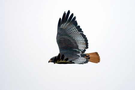 Augur Buzzard bird photo