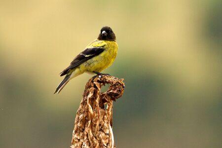 ethiopian: Ethiopian Siskin or Abyssinian Siskin bird Stock Photo