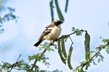 browned: White-browned Sparrow-Weaver bird