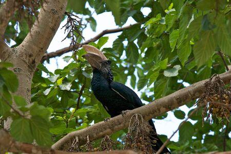 hornbill: Silvery-cheeked Hornbill bird Stock Photo