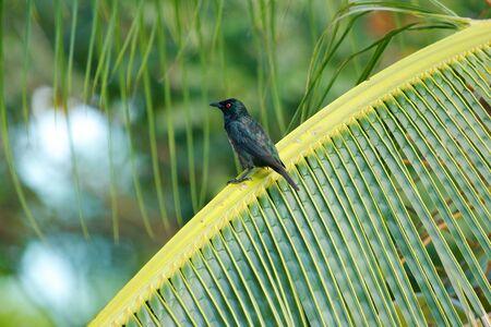 Asian Glossy Starling  Aplonis panayensis , Sarawak, Malaysia