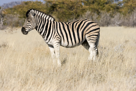 Burchell s zebra  Equus quagga burchellii   photo