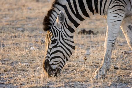 Burchell s zebra  Equus quagga burchellii   Stock Photo