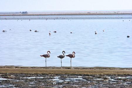 Greater Flamingos, Walvis Bay, Namibia  Stock Photo