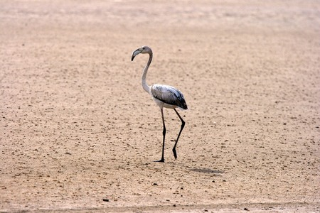 friendless: Juvenile Greater Flamingo, Walvis Bay, Namibia