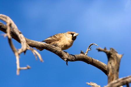 sociable: Sociable Weaver, Sossusvlei, Namibia