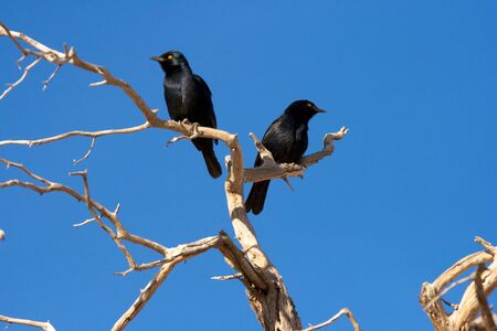Pale-winged Starling  Onychognathus nabouroup  Sossusvlei, Namibia  Stock Photo
