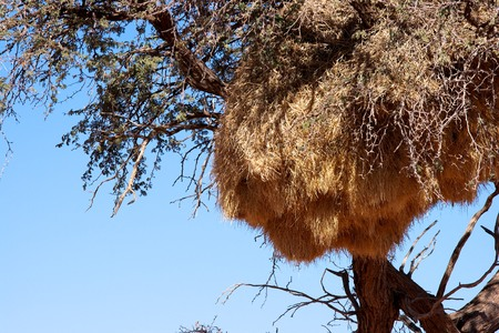 weaver bird: Sociable Weaver Bird nest, Scenery on route Sossusvlei-Lüderitz