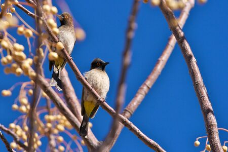 African Red-eyed Bulbul,  Pycnonotus nigricans,  Namibia