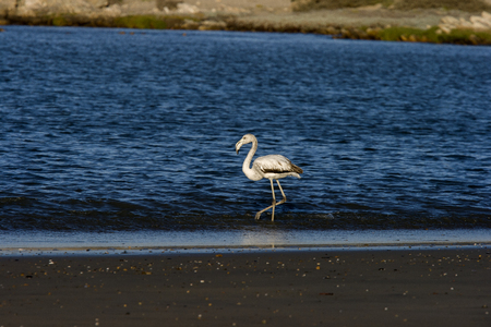 luderitz: Juvenile Greater Flamingo,  Phoenicopterus roseus , Luderitz, Namibia  Stock Photo