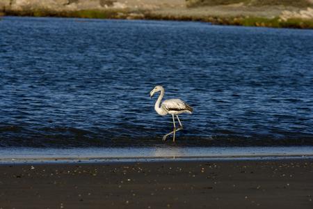 phoenicopterus: Minorenni Greater Flamingo, Phoenicopterus roseus, Luderitz, Namibia Archivio Fotografico