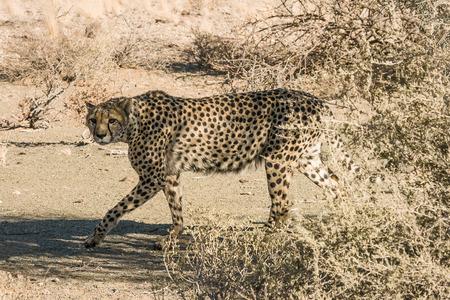 acinonyx: Cheetahs  Acinonyx jubatus ,  Namibia  Stock Photo