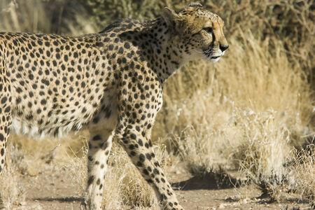 jubatus: Cheetahs  Acinonyx jubatus ,  Namibia  Stock Photo