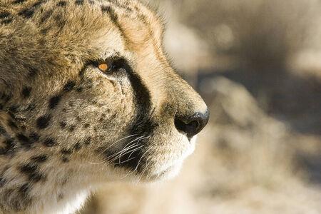 jubatus: Cheetahs  Acinonyx jubatus , Namibia