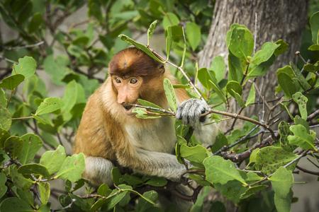 proboscis: Proboscis Monkey  Nasalis larvatus , Bako N P  Malaysia