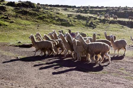 Llamas, Chullpas de Sillustani  Puno, Peru photo