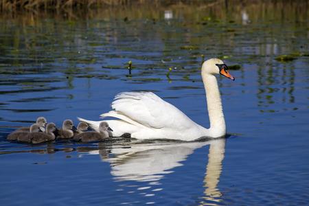 cygnus olor: Mute Swan  Cygnus olor  Rastasjon, Solna, Sweden,
