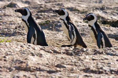 African Penguin, False Bay Boulders @ Simon