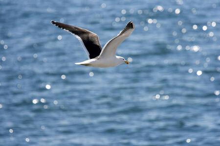 larus: Kelp Gull   Larus dominicanus