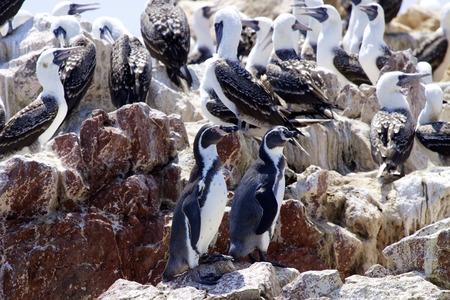 Humboldt Penguin  Spheniscus humboldti , also termed Peruvian Penguin, or Patranca, Islas Ballestas, Peru