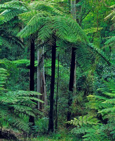 np: Fern trees, Dandenong NP, Victoria, Australia