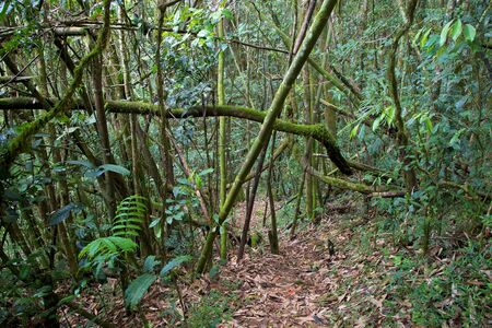 Bamboo forest, Ranomafana N P  Madagascar