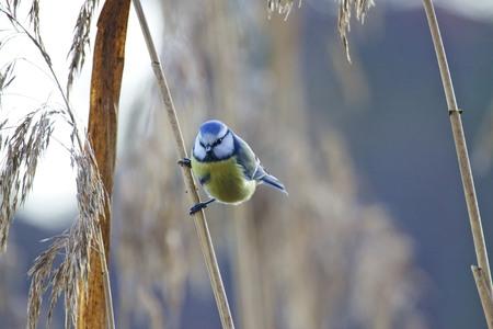 solna: Blue Tit,  Parus caeruleus, Solna, Sweden Stock Photo