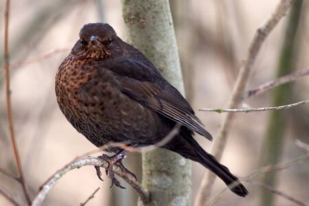 Common Blackbird,  Turdus merula, Solna, Sweden photo