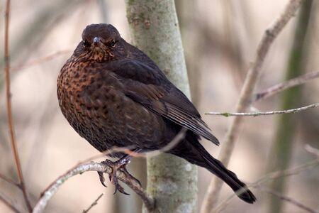 solna: Common Blackbird,  Turdus merula, Solna, Sweden Stock Photo